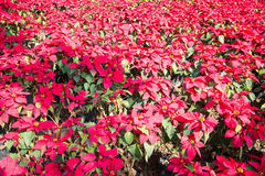 Close up of Christmas red poinsettia plant blossom Stock Photography