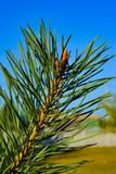 Close-up of a Christmas tree branch against a blue sky royalty free stock image