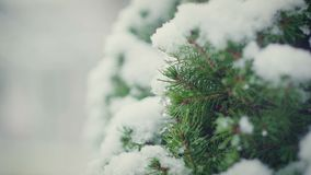 Close-up of christmas tree branches with snow macro. Close-up of christmas tree branches with snow, snowing in botanic garden macro stock video footage