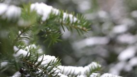 Close-up of christmas tree branches with snow, snowing in botanic garden. 1080 stock video