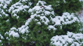 Close-up of christmas tree branches with snow macro. Close-up of christmas tree branches with snow, snowing in botanic garden macro stock footage