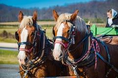 Close Up of Christmas Tree Farm Horses Stock Photo