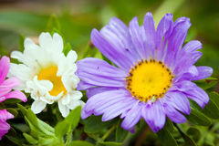 Close-up of Chrizantenum flowers Royalty Free Stock Images