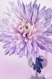 Close-up of chrysanthemum Stock Photo