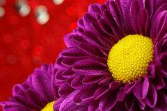 Close-up chrysanthemum. Stock Image