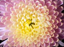 Close-up of a Chrysanthemum Stock Photos