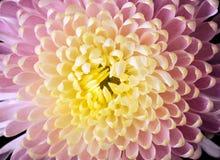 Close-up of a Chrysanthemum Stock Photos
