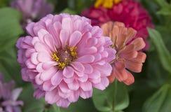 Close up chrysanthemum Royalty Free Stock Image