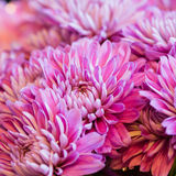 Close up chrysanthemum flower petals Stock Image