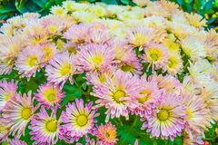 Close up of Chrysanthemum pink in garden, Beautiful nature background stock photography