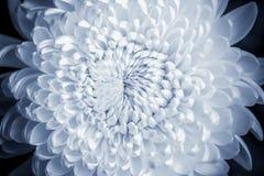 Close up Chrysanthemums Stock Photography