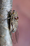 Close up cicada insect Royalty Free Stock Image