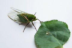 Close up of the cicada Stock Photo