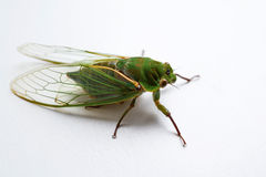 Close up of the cicada Stock Photography