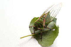 Close up of the cicada Stock Image