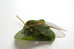 Close up of the cicada Stock Images