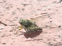 Close up of Cicada Royalty Free Stock Image