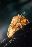 Close up cicada shell which leave on the tree Stock Photos
