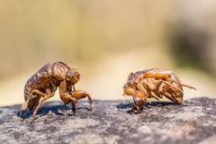 Close up  cicada slough  on the stone Royalty Free Stock Image
