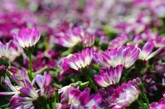 Close up of cineraria Royalty Free Stock Image