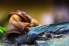 Close-up of a cinnamon snail. Or Gastropoda sits on a wooden branch in a home cage, a bottom view Royalty Free Stock Images