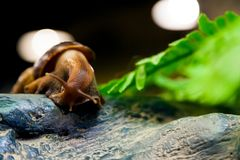 Close-up of a cinnamon snail. Or Gastropoda sits on a wooden branch in a home cage, a bottom view Stock Photography