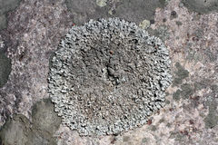 Close up of circular Parmelia lichen Royalty Free Stock Image