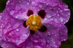 Pink Cistus Rose flower with water droplets  Royalty Free Stock Photo