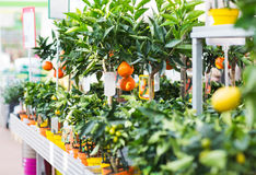 Close up of citrus seedlings in gardening shop Royalty Free Stock Photo