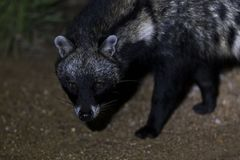 Close-up of a Civet Cat in a spotlight at night Stock Image