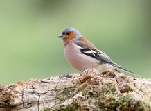Close-up of a classic portrait of a male chaffinch stock photography