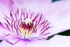 Close up of Clematis Stock Image