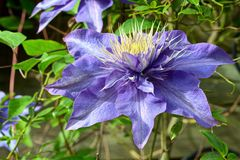 Close up of Clematis Stock Photos