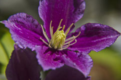 Close-up of a clematis Royalty Free Stock Image