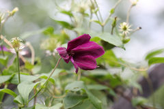 Close up of clematis flower Royalty Free Stock Photography