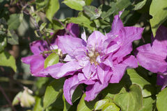 Close up of a clematis pillu Royalty Free Stock Photos