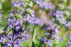 Close up of Cleveland sage Salvia clevelandii flower clusters in spring, California stock photo