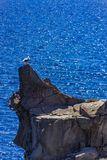 Close up of a cliff and a seagull near Carloforte Isola di San. Detail of a seagull standing on a cliff in the sea called Le Colonne near Carloforte Island of Royalty Free Stock Images