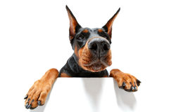 Close up of climbing doberman pinscher Stock Image