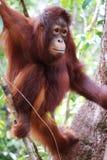 Close up of climbing orangutan in Borneo forest. stock photo
