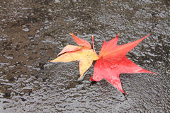 Close up of close up of yellow red dead tree leaves lying on  yellow red dead tree leaves lying on wet floor street on a rainy day Stock Image