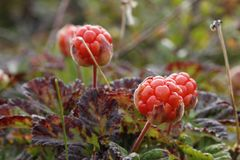 Close-up of cloudberries found on the tundra with blurred background found in Canada`s Arctic Royalty Free Stock Image