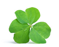 Close up of clover. Plant on white background royalty free stock images