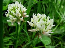 Close up of Clover Bloom Royalty Free Stock Image