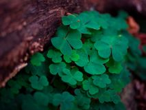 Close-up, Clover, Depth Royalty Free Stock Images