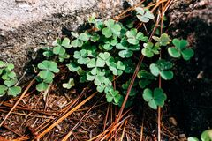 Close-up, Clover, Dewdrops Stock Photography