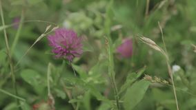 Close up of clover flower in the grass shaking with wind. stock video footage