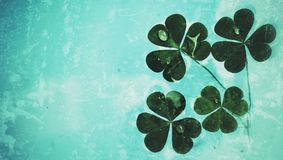 Close up of clover leaf green Royalty Free Stock Image