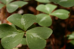 Close up of clover leaf at Limekiln Park Royalty Free Stock Photography