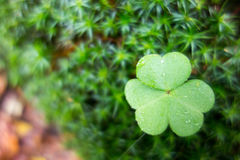 Macro of a clover leaf. Close up of a clover leaf  with water drops on a mossy background Stock Photo